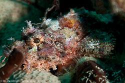 BD-111128-Raja-Ampat-5530-Scorpaenopsis-oxycephala-(Bleeker.-1849)-[Caledonian-devilfish].jpg